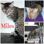 Miles was rescued from an apartment complex with Hennessy. He had severe sarcoptic mange and tested positive for FIV, but he is doing great.